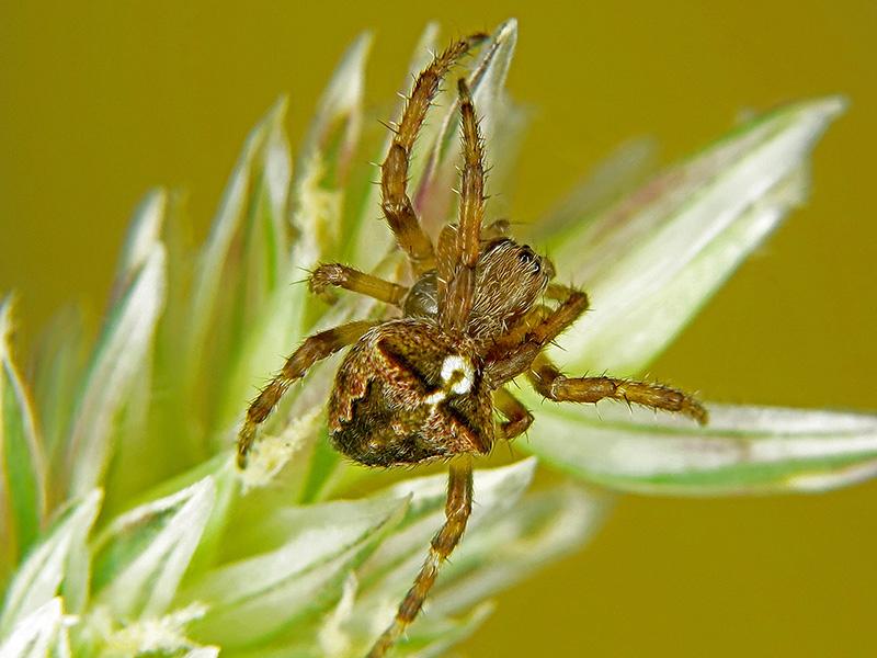 Araneus angulatus hembra