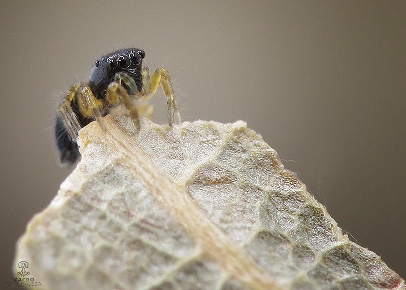 Chalcoscirtus cf. infimus hembra
