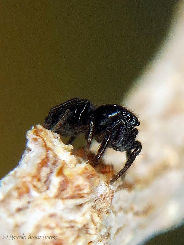 Chalcoscirtus sp.