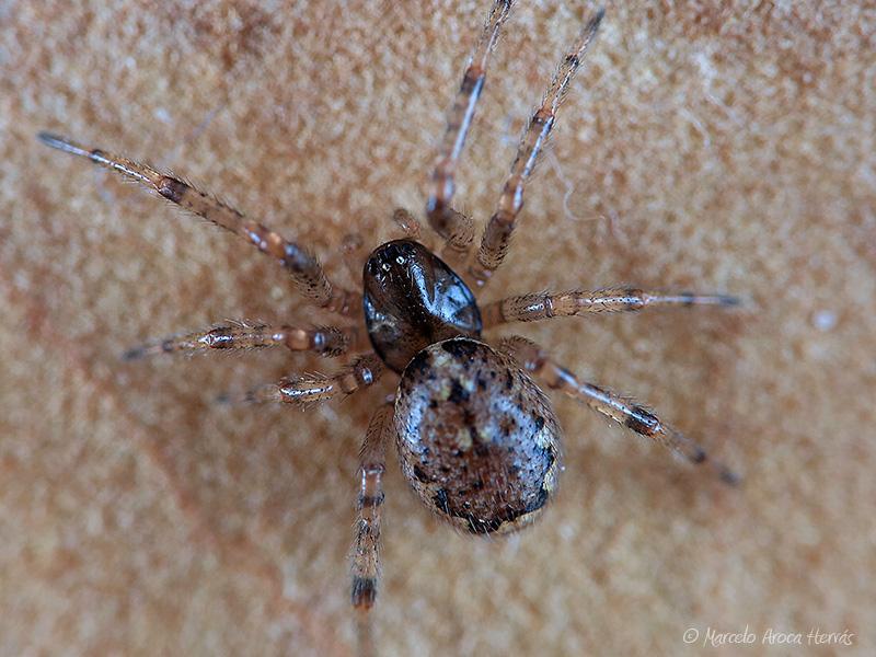 Enoplognatha gr. mandibularis hembra