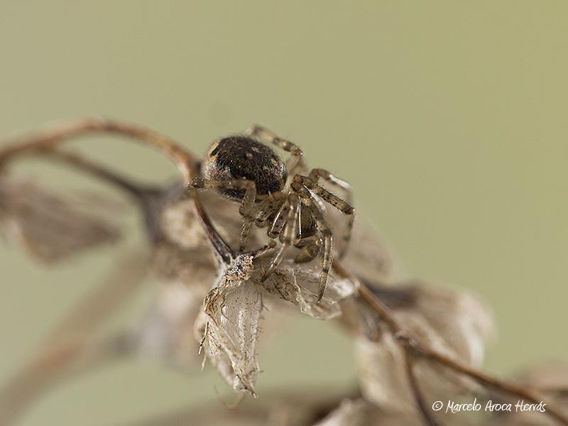 Enoplognatha mandibularis macho