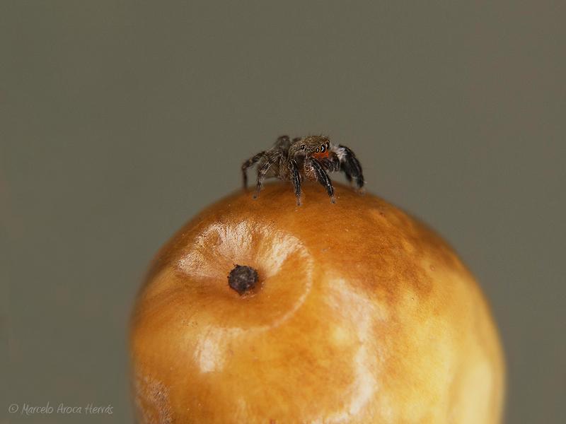 Euophrys rufibarbis macho