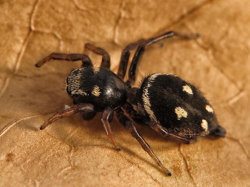 Heliophanus apiatus hembra