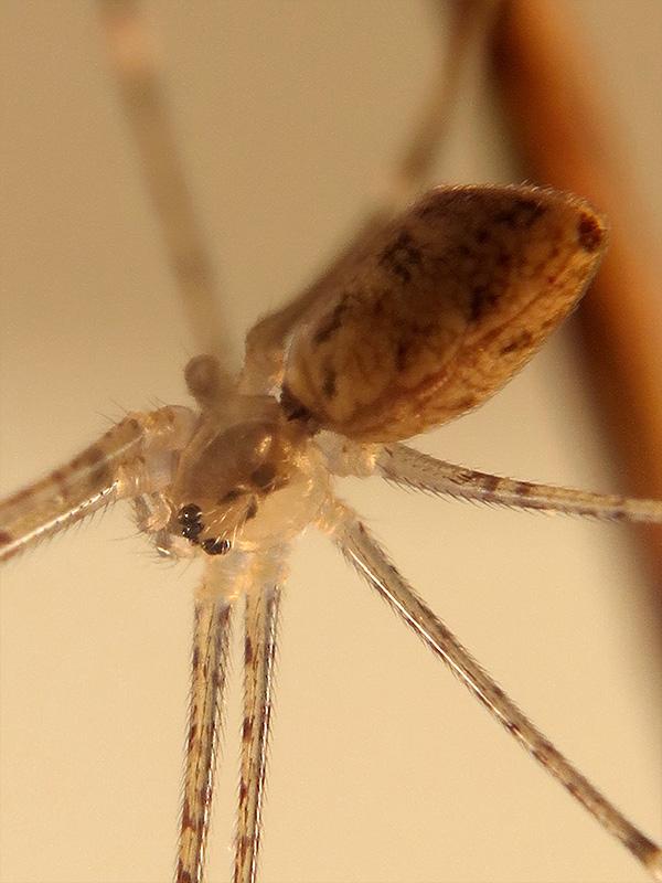 Holocnemus cf. hispanicus hembra