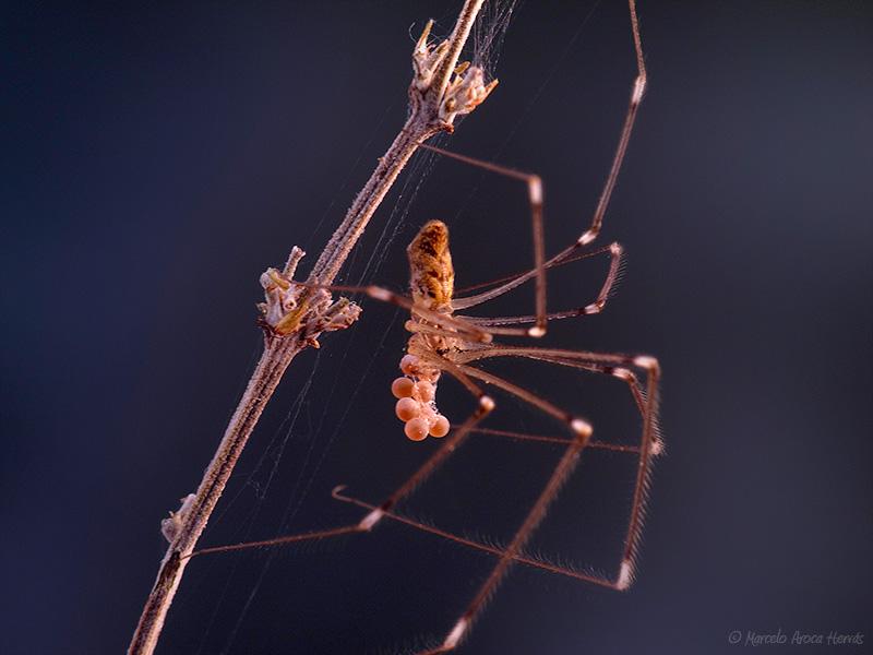 Holocnemus hispanicus hembra