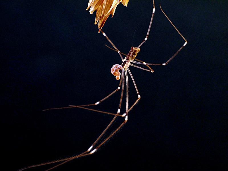 Holocnemus sp. hembra