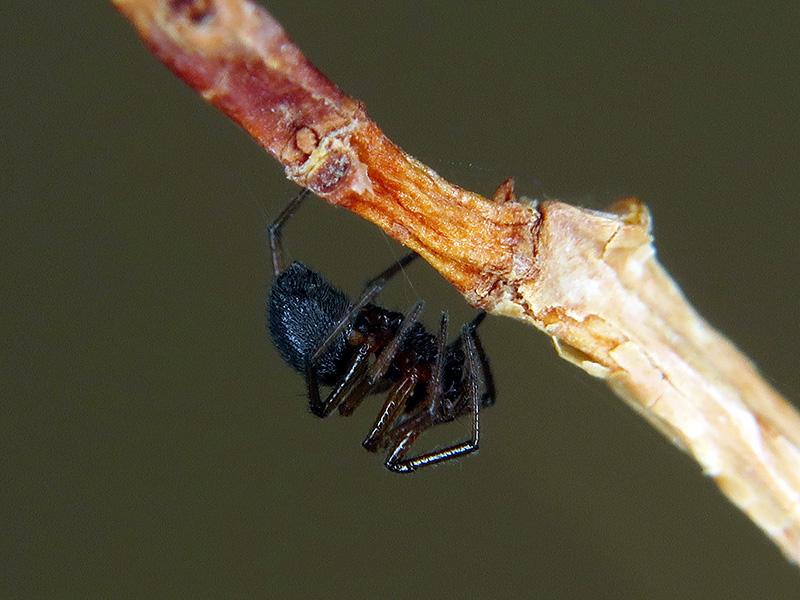 Linyphiidae