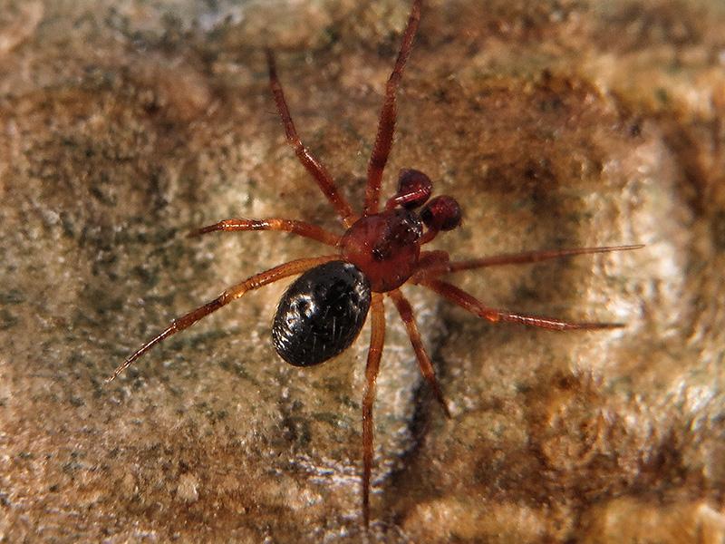 Linyphiidae sp. macho