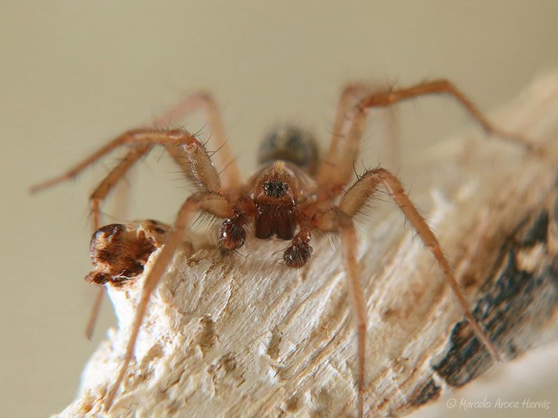 Lycosoides coarctata macho