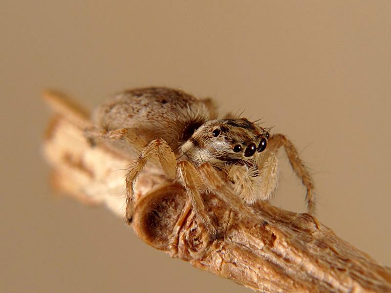 Menemerus semilimbatus hembra
