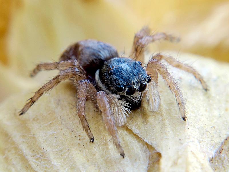 Menemerus semilimbatus macho inmaduro