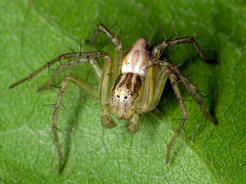 Oxyopes cf. lineatus macho inmaduro