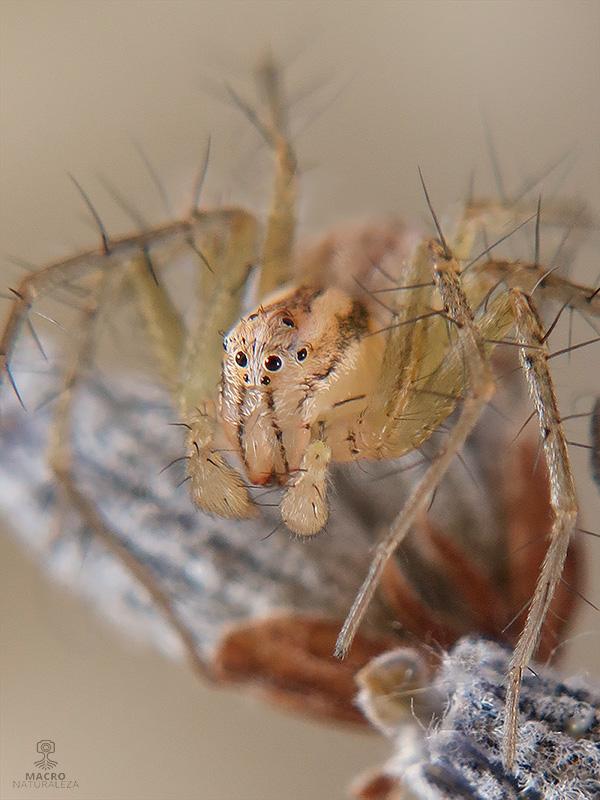 Oxyopes cf. lineatus macho subadulto
