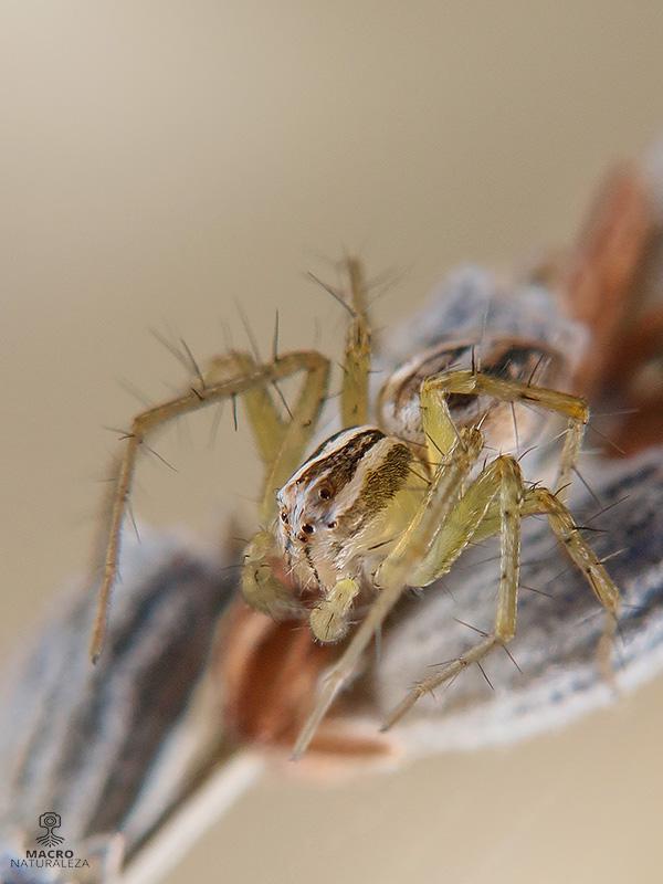 Oxyopes cf. nigripalpis macho subadulto