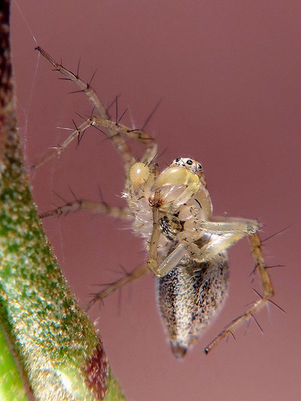 Oxyopes lineatus macho
