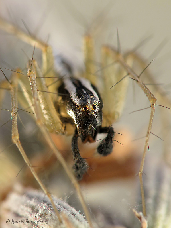 Oxyopes nigripalpis macho
