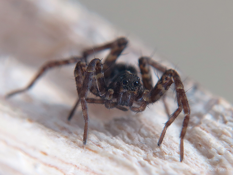 Pardosa sp.
