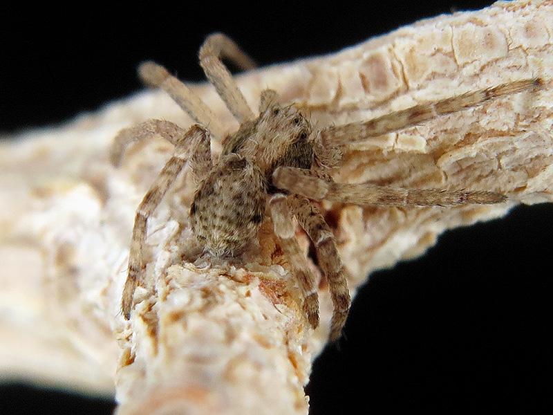 Philodromus sp. macho subadulto