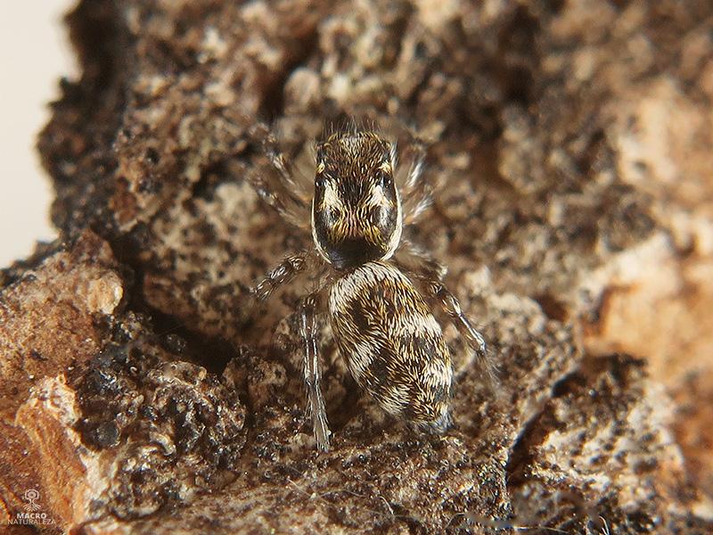 Salticus scenicus hembra