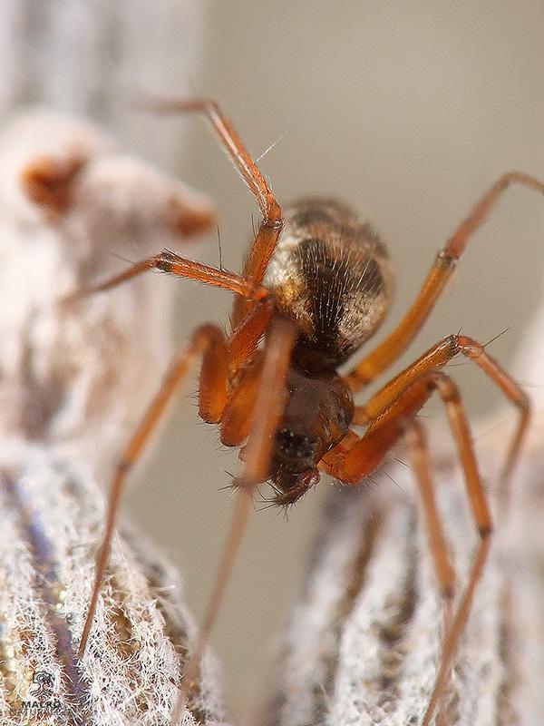 Tenuiphantes tenuis hembra