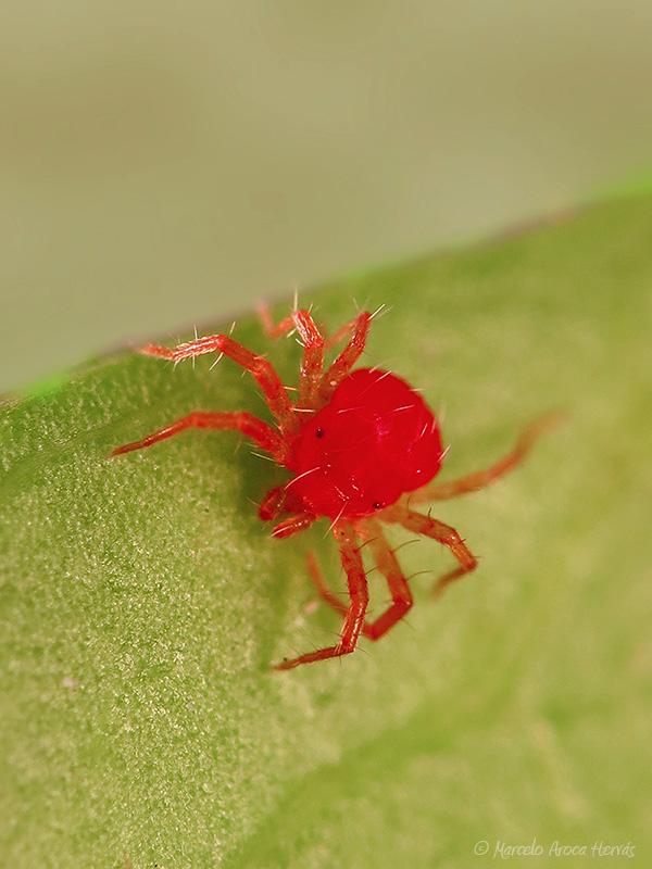 Tetranichus urticae (Araña roja)