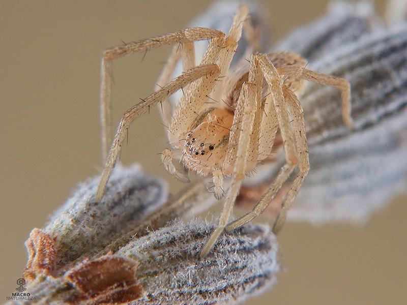 Thanatus sp. hembra