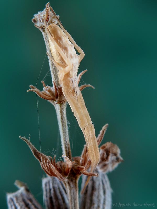 Uloborus walckenaerius hembra