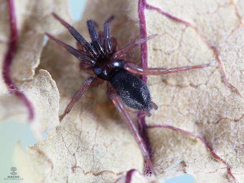 Zelotes sp. hembra