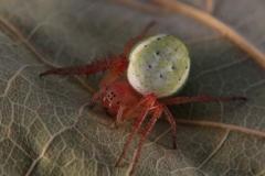 Araniella cf. curcurbitina hembra