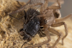 Clubiona sp. hembra
