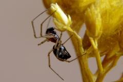 Coleosoma floridanum