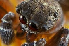 Cyrba algerina macho subadulto