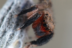 Euophrys cf. rufibarbis macho