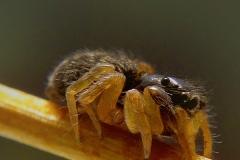 Euophrys sp. hembra