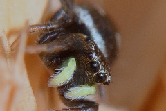 Heliophanus cf. cupreus hembra