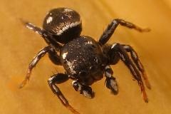 Heliophanus kochii macho