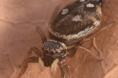 Heliophanus sp. hembra