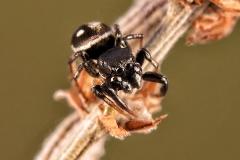 Heliophanus sp. macho