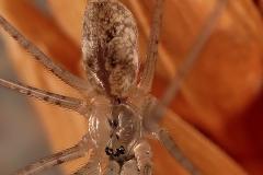 Holocnemus hispanicus macho
