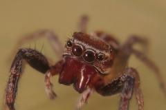 Icius cf. hamatus macho
