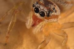 Icius sp. hembra