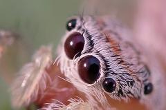 Icius sp. hembra subadulta