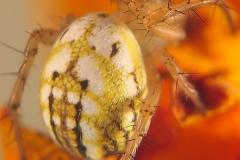 Mangora acalypha hembra