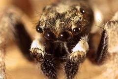 Menemerus semilimbatus macho