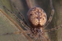 Oecobius sp. hembra
