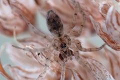 Oecobius sp. macho