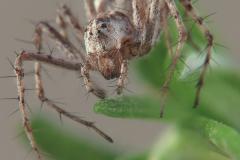 Oxyopes cf. heterophthalmus hembra