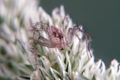 Oxyopes cf. lineatus hembra