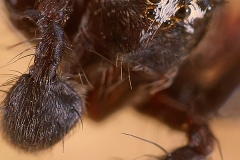 Oxyopes heterophthalmus macho