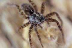 Pardosa sp. 2